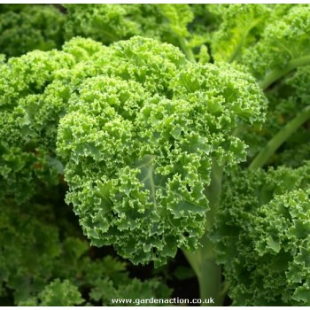 Curley Kale